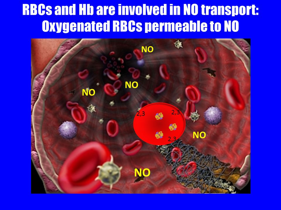 RBCs and Hb are involved in NO transport: Oxygenated RBCs permeable to NO NO 2,3