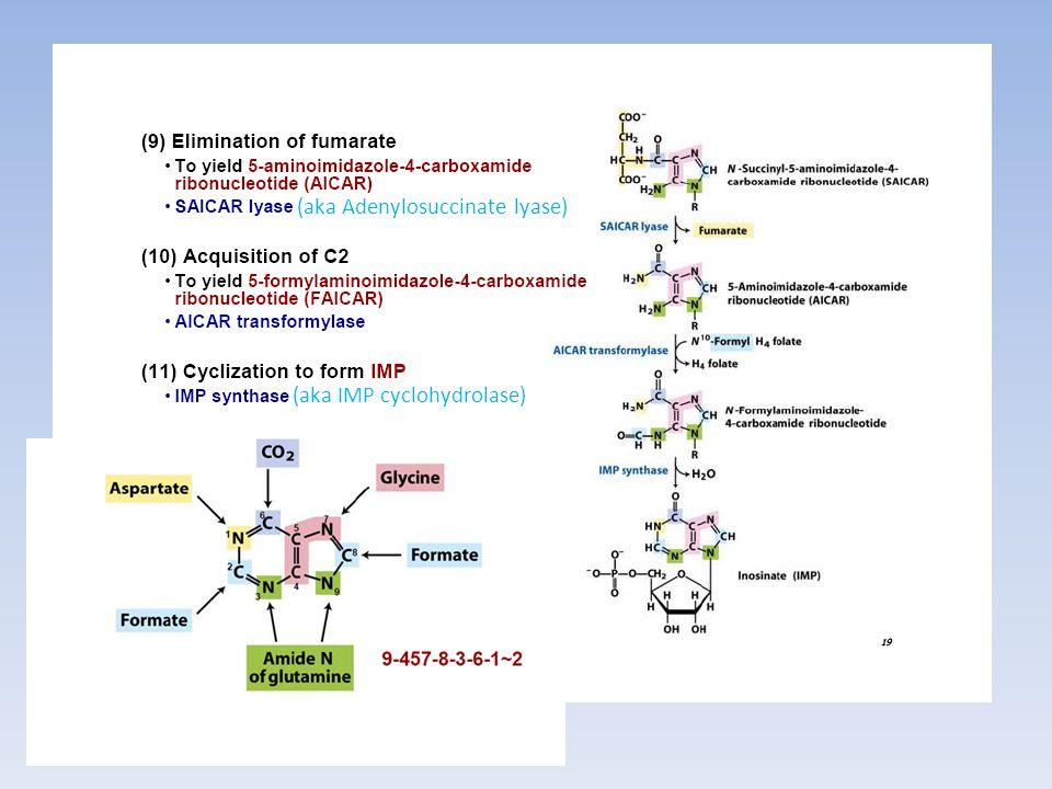 (aka Adenylosuccinate lyase) (aka IMP cyclohydrolase)