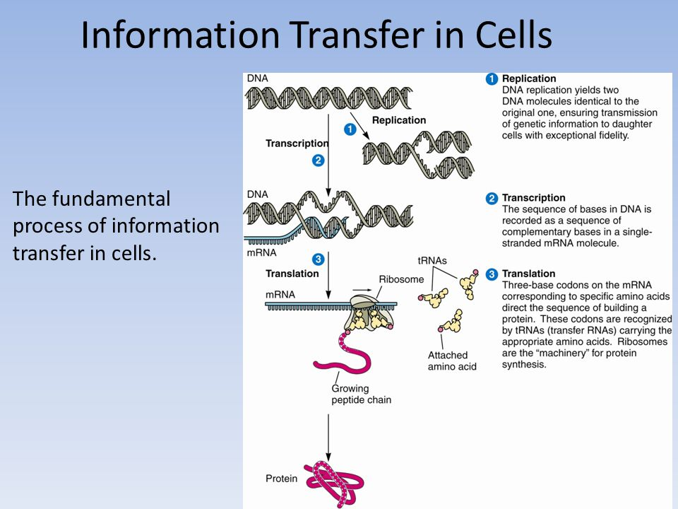Information Transfer in Cells The fundamental process of information transfer in cells.