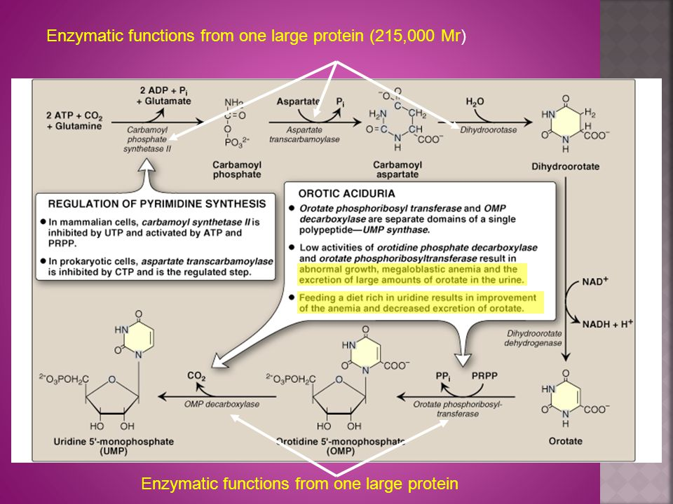 Enzymatic functions from one large protein (215,000 Mr) Enzymatic functions from one large protein