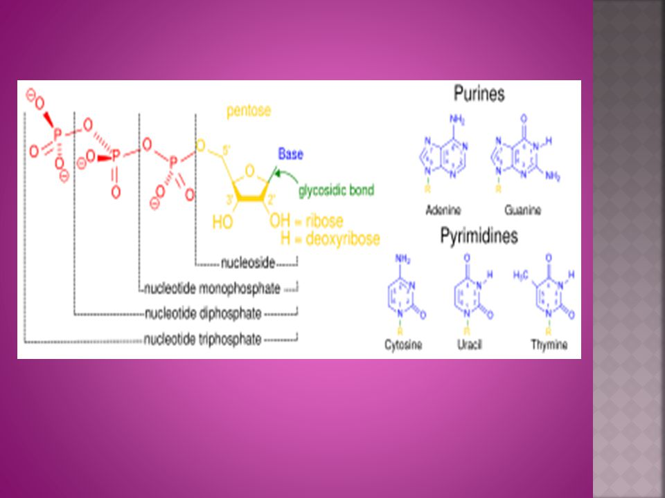 The Nitrogenous Bases In DNA: Adenine Guanine *Thymine* Cytosine In RNA: Adenine Guanine *Uracil* Cytosine