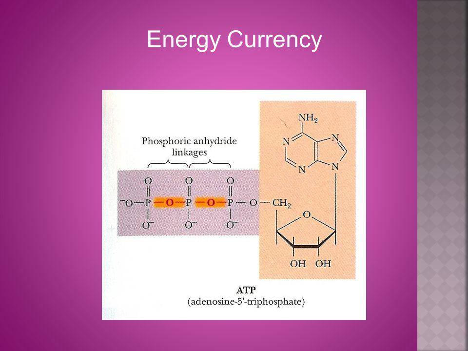 Ribose: Pentose sugar; may be reduced to deoxyribose (DNA).