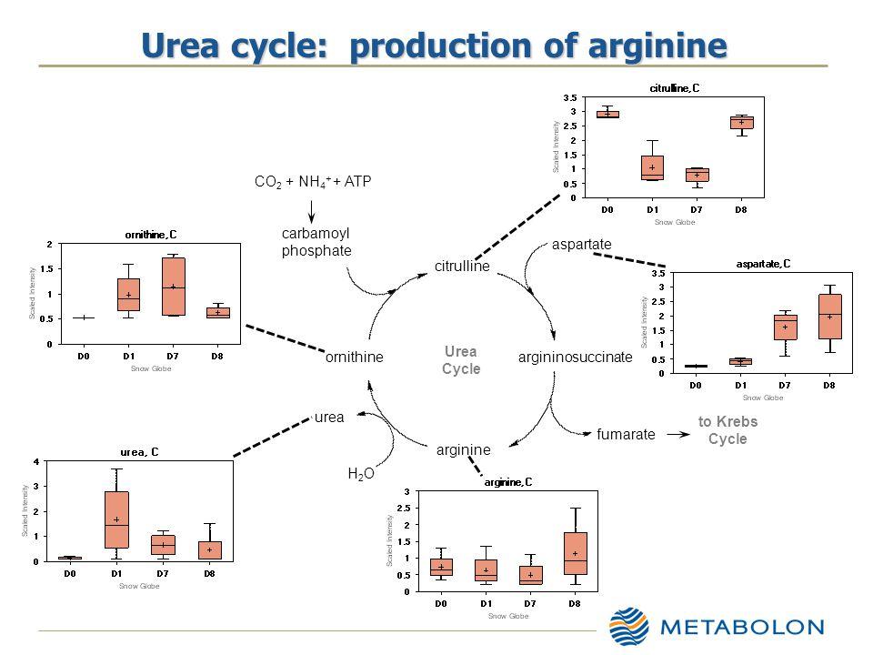 Urea cycle: production of arginine citrulline argininosuccinate arginine ornithine carbamoyl phosphate CO 2 + NH 4 + + ATP aspartate fumarate to Krebs Cycle Urea Cycle H2OH2O urea