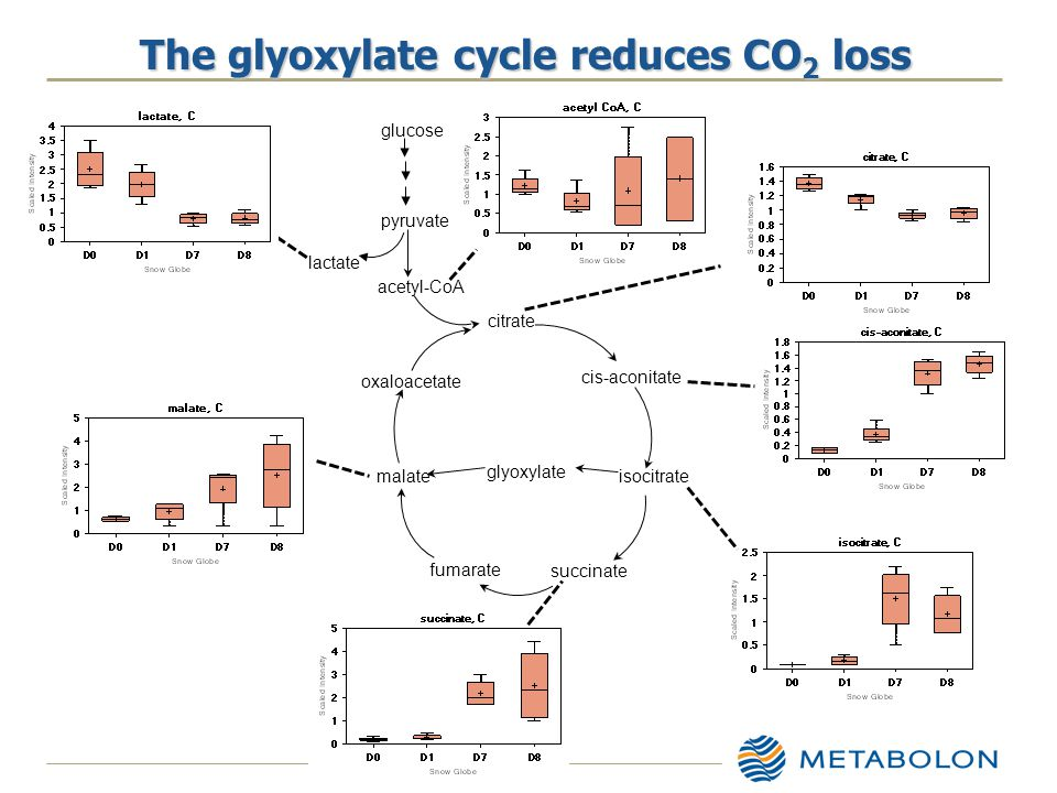 The glyoxylate cycle reduces CO 2 loss pyruvate acetyl-CoA citrate cis-aconitate isocitrate succinate fumarate malate oxaloacetate glucose lactate glyoxylate