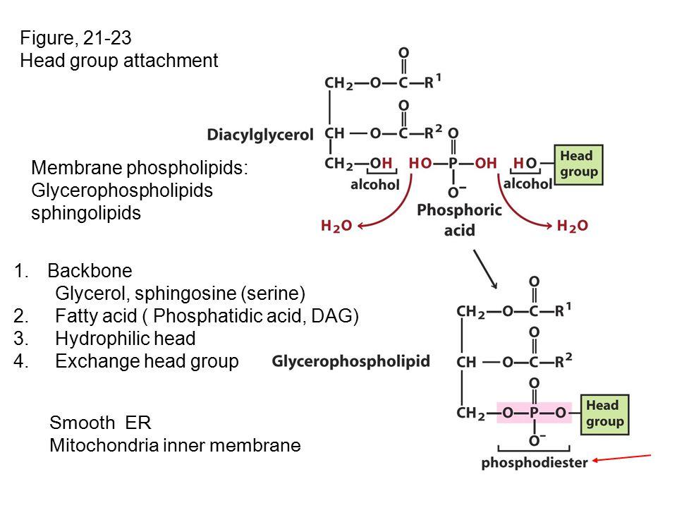 Figure, 21-23 Head group attachment 1.Backbone Glycerol, sphingosine (serine) 2.