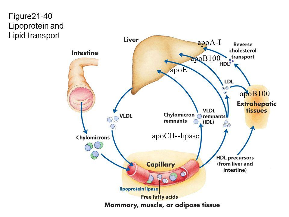 Figure21-40 Lipoprotein and Lipid transport apoE apoCII--lipase apoB100 apoA-I