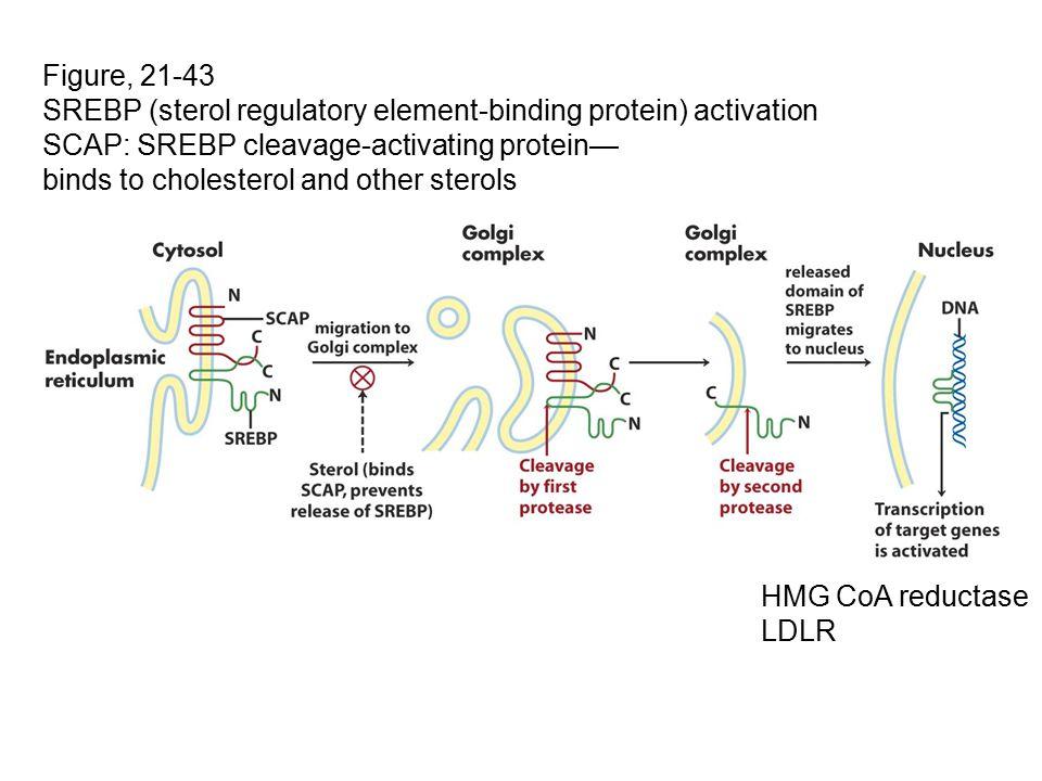 Figure, 21-43 SREBP (sterol regulatory element-binding protein) activation SCAP: SREBP cleavage-activating protein— binds to cholesterol and other sterols HMG CoA reductase LDLR