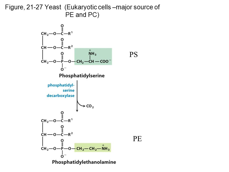 Figure, 21-27 Yeast (Eukaryotic cells –major source of PE and PC) p.82 8 PS PE