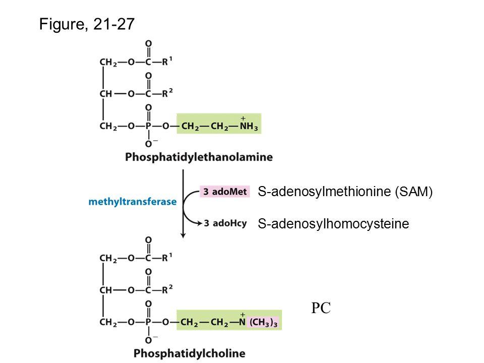 p.82 8 Figure, 21-27 S-adenosylmethionine ( SAM) S-adenosylhomocysteine PC