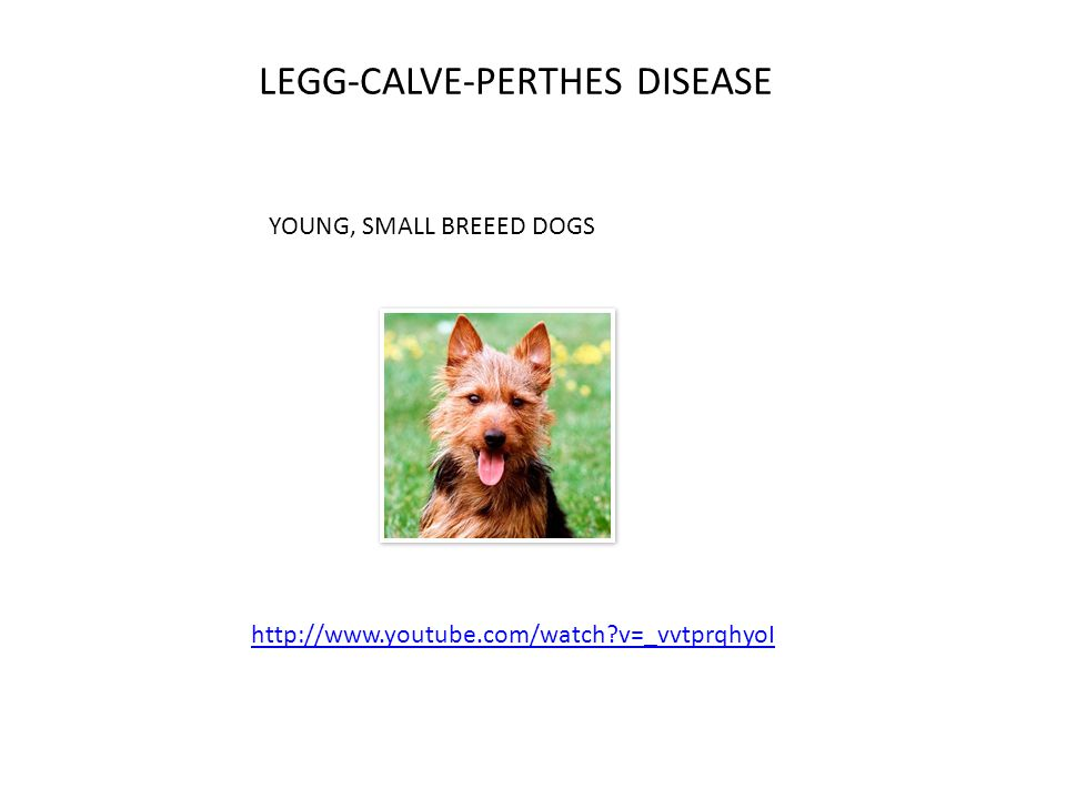 LEGG-CALVE-PERTHES DISEASE http://www.youtube.com/watch v=_vvtprqhyoI YOUNG, SMALL BREEED DOGS