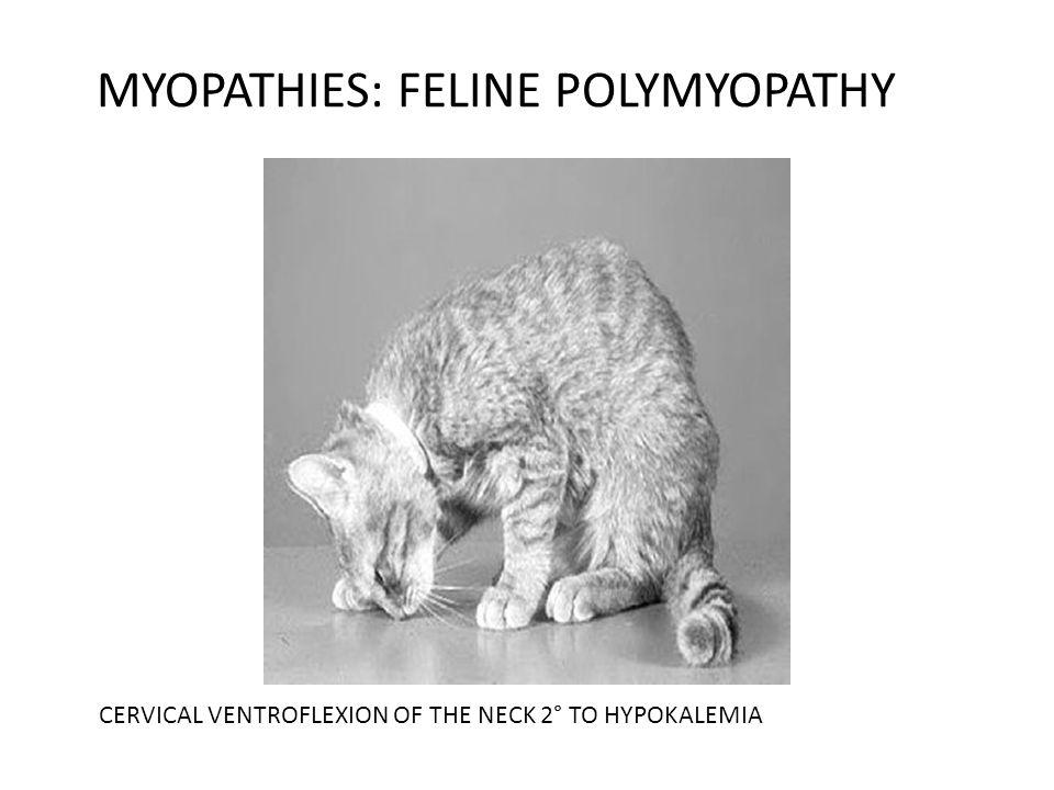 MYOPATHIES: FELINE POLYMYOPATHY CERVICAL VENTROFLEXION OF THE NECK 2° TO HYPOKALEMIA