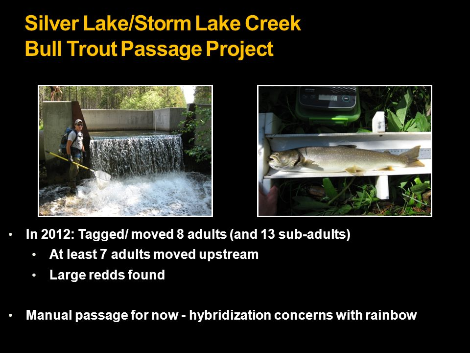 Silver Lake/Storm Lake Creek Bull Trout Passage Project In 2012: Tagged/ moved 8 adults (and 13 sub-adults) At least 7 adults moved upstream Large redds found Manual passage for now - hybridization concerns with rainbow