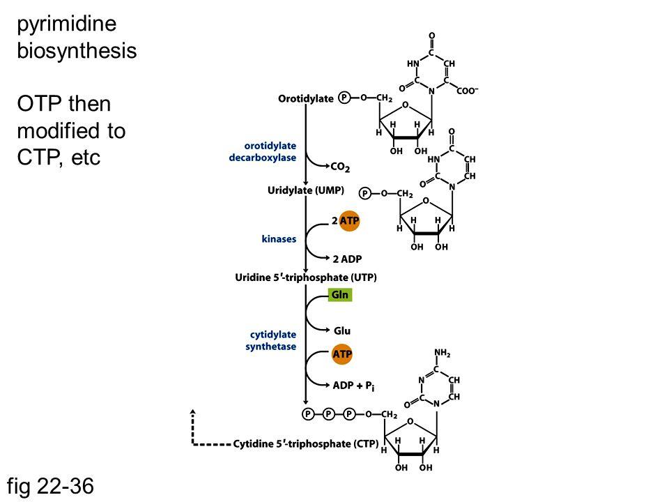 pyrimidine biosynthesis OTP then modified to CTP, etc
