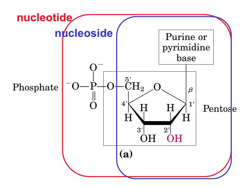 nucleotide nucleoside