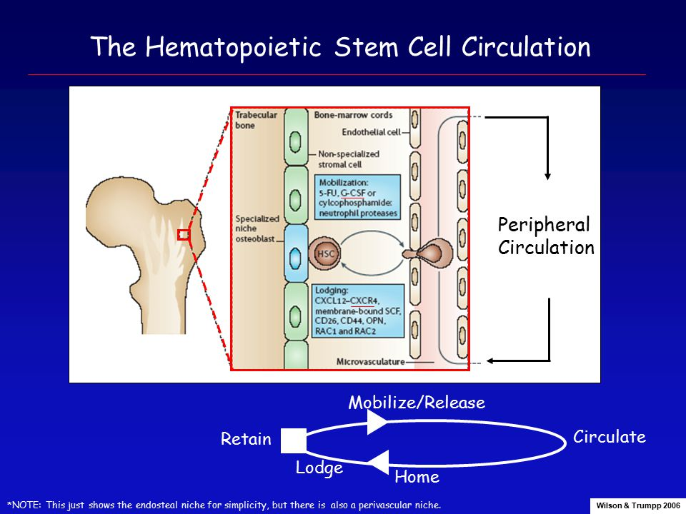 The Hematopoietic Stem Cell Circulation Peripheral Circulation *NOTE: This just shows the endosteal niche for simplicity, but there is also a perivascular niche.