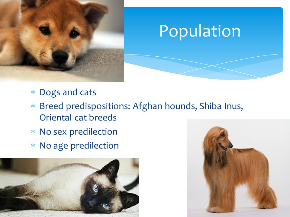  Dogs and cats  Breed predispositions: Afghan hounds, Shiba Inus, Oriental cat breeds  No sex predilection  No age predilection Population