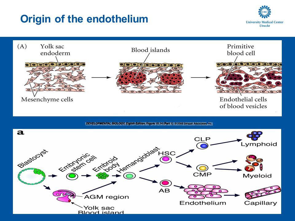 Origin of the endothelium