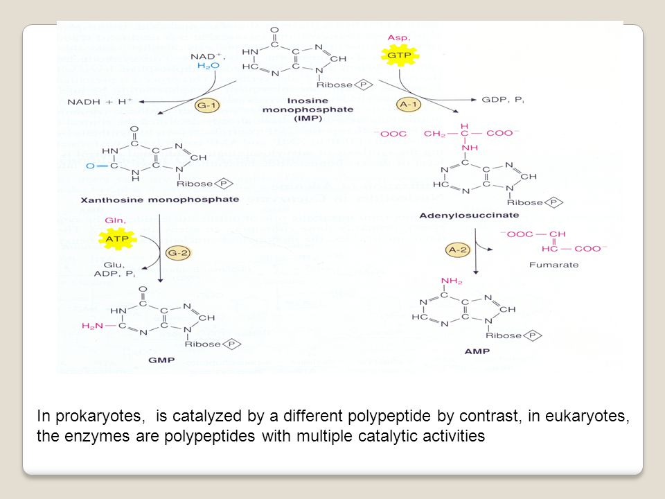In prokaryotes, is catalyzed by a different polypeptide by contrast, in eukaryotes, the enzymes are polypeptides with multiple catalytic activities