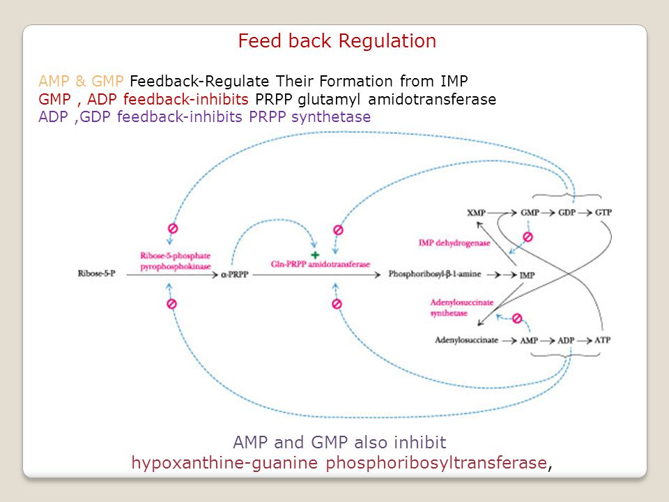 Feed back Regulation AMP & GMP Feedback-Regulate Their Formation from IMP GMP, ADP feedback-inhibits PRPP glutamyl amidotransferase ADP,GDP feedback-inhibits PRPP synthetase AMP and GMP also inhibit hypoxanthine-guanine phosphoribosyltransferase,
