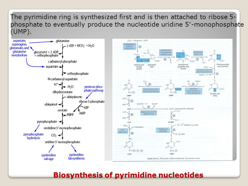 Biosynthesis of pyrimidine nucleotides The pyrimidine ring is synthesized first and is then attached to ribose 5- phosphate to eventually produce the nucleotide uridine 5′-monophosphate (UMP).