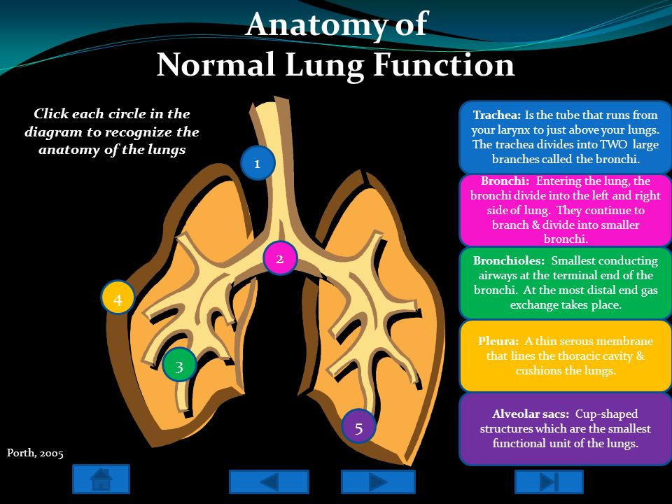 Anatomy of Normal Lung Function Click each circle in the diagram to recognize the anatomy of the lungs 1 2 3 5 4 Trachea: Is the tube that runs from y
