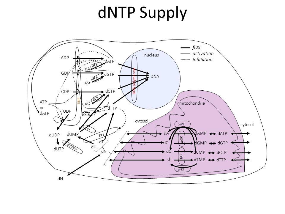 UDP CDP GDP ADP dTTP dCTP dGTP dATP dT dC dG dA DNA dUMP dU TS DCTD dCK DNA polymerase TK1 cytosol mitochondria dT dC dG dA TK2 dGK dTMP dCMP dGMP dAMP dTTP dCTP dGTP dATP 5NT NT2 cytosol nucleus dUDP dUTP dUTPase dN dCK flux activation inhibition ATP or dATP RNR dCK dNTP Supply