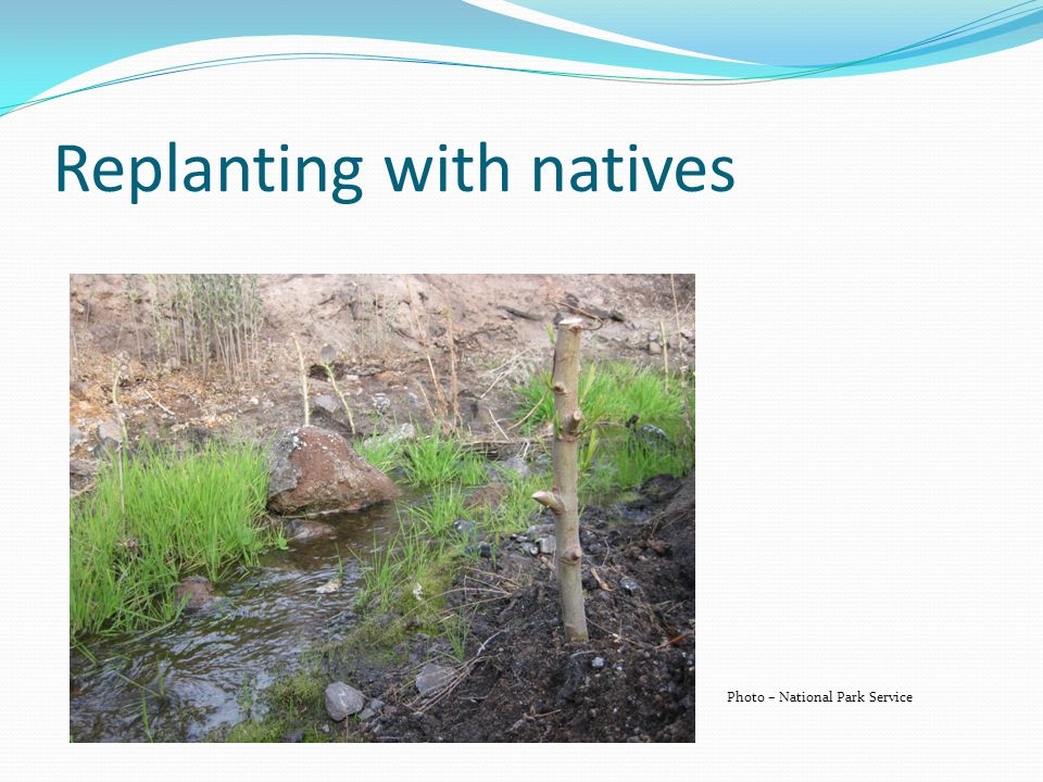 Replanting with natives Photo – National Park Service
