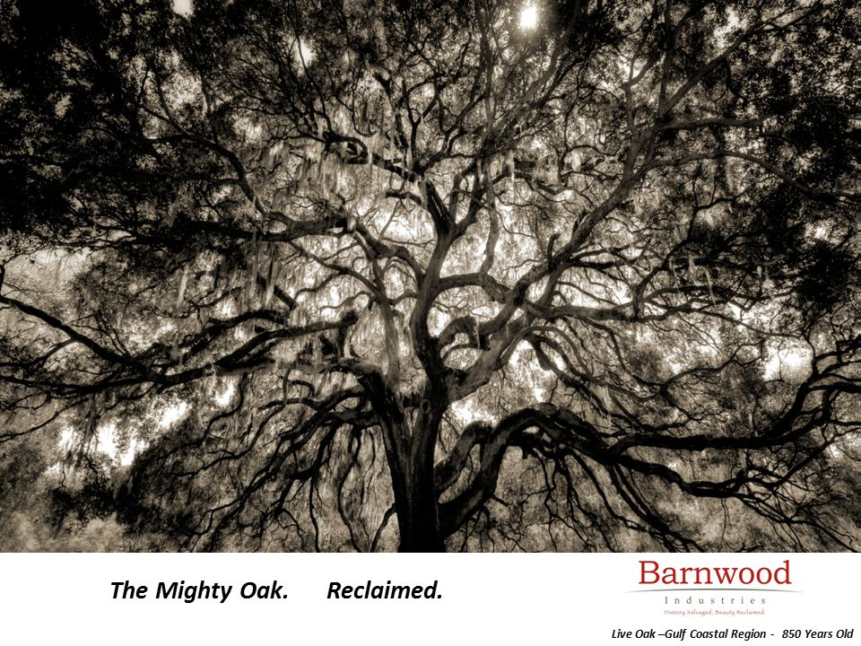 The Mighty Oak. Reclaimed. Live Oak –Gulf Coastal Region - 850 Years Old