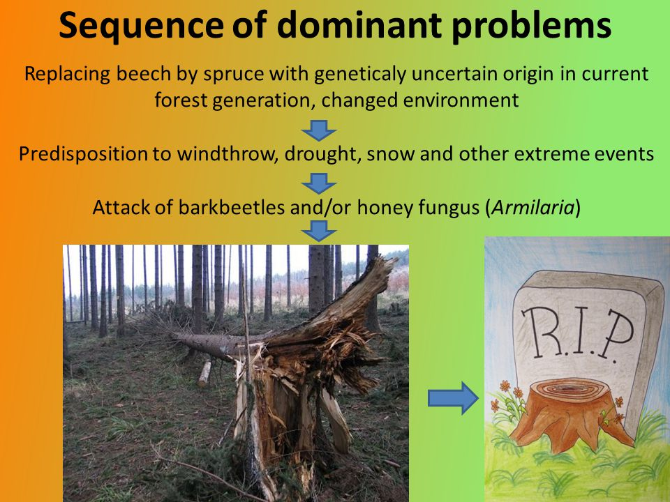 Sequence of dominant problems Replacing beech by spruce with geneticaly uncertain origin in current forest generation, changed environment Predisposition to windthrow, drought, snow and other extreme events Attack of barkbeetles and/or honey fungus (Armilaria)
