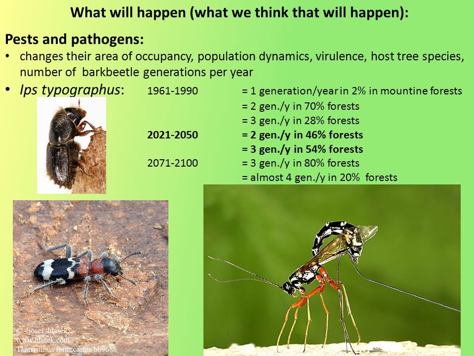 Pests and pathogens: changes their area of occupancy, population dynamics, virulence, host tree species, number of barkbeetle generations per year Ips typographus: 1961-1990= 1 generation/year in 2% in mountine forests = 2 gen./y in 70% forests = 3 gen./y in 28% forests 2021-2050= 2 gen./y in 46% forests = 3 gen./y in 54% forests 2071-2100= 3 gen./y in 80% forests = almost 4 gen./y in 20% forests What will happen (what we think that will happen):