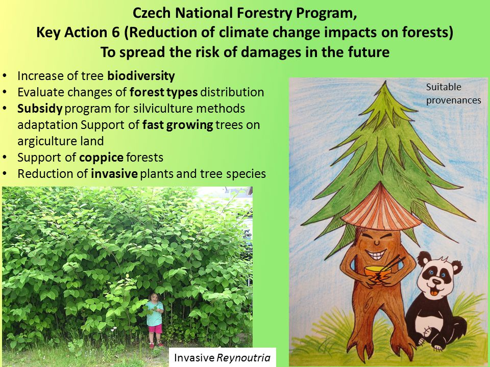 Increase of tree biodiversity Evaluate changes of forest types distribution Subsidy program for silviculture methods adaptation Support of fast growing trees on argiculture land Support of coppice forests Reduction of invasive plants and tree species Czech National Forestry Program, Key Action 6 (Reduction of climate change impacts on forests) To spread the risk of damages in the future Invasive Reynoutria Suitable provenances