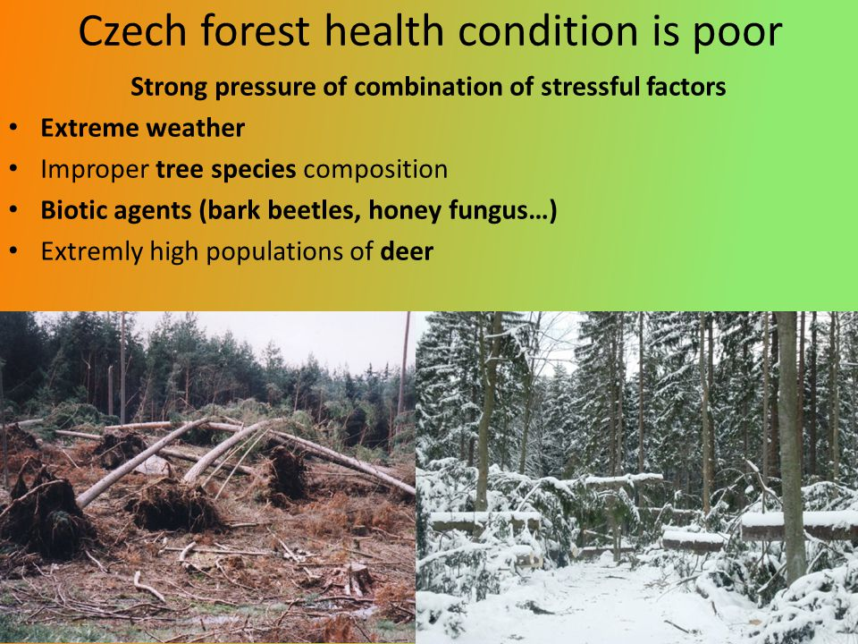 Czech forest health condition is poor Strong pressure of combination of stressful factors Extreme weather Improper tree species composition Biotic agents (bark beetles, honey fungus…) Extremly high populations of deer