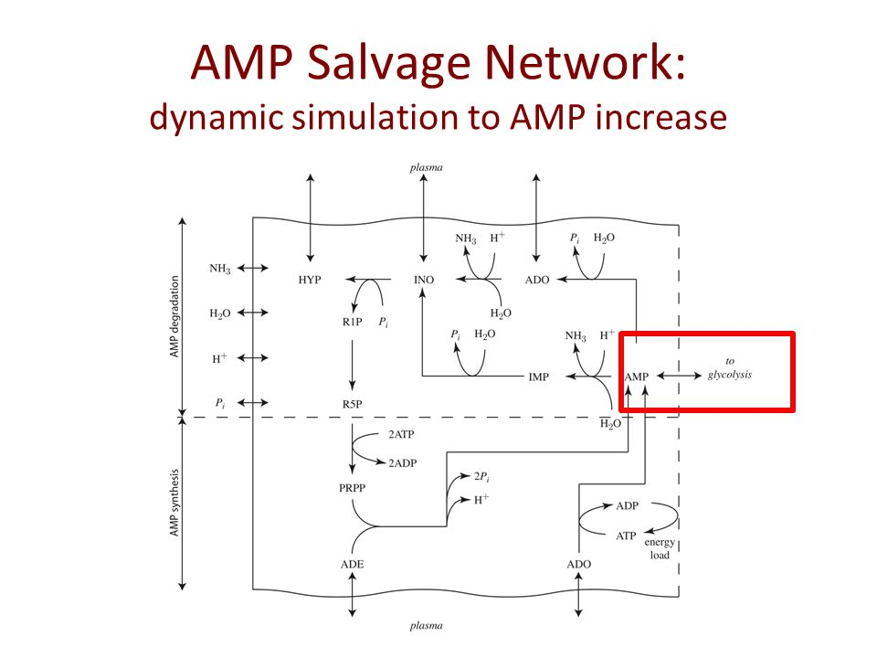 AMP Salvage Network: dynamic simulation to AMP increase