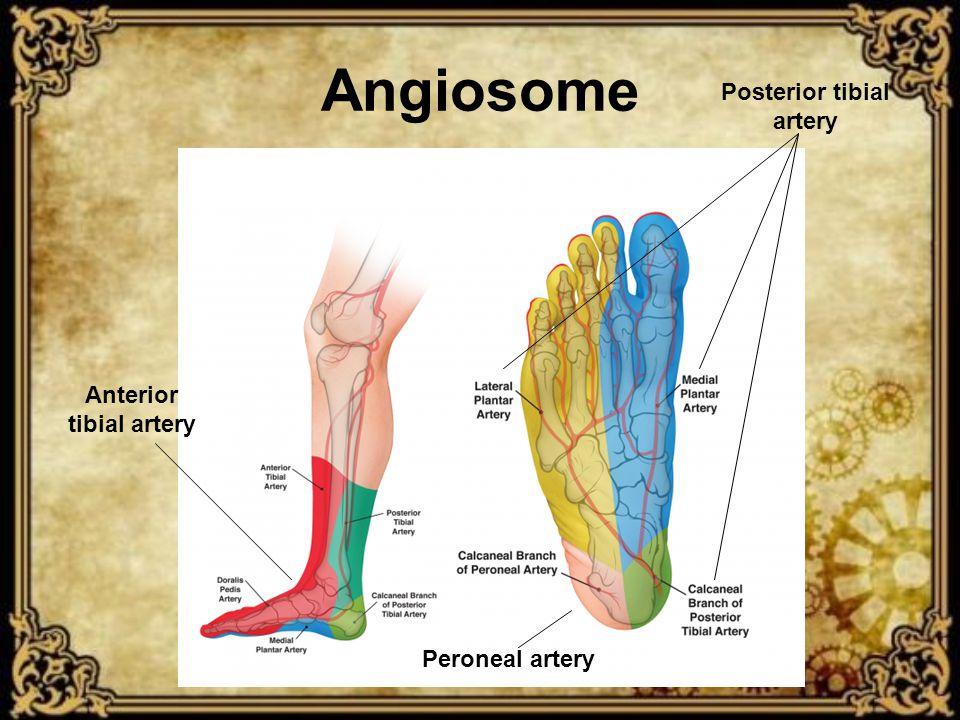 Angiosome Posterior tibial artery Anterior tibial artery Peroneal artery
