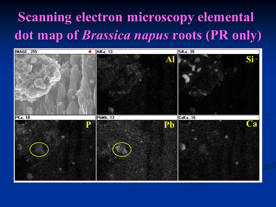 Scanning electron microscopy elemental dot map of Brassica napus roots (PR only) AlSi PPb Ca
