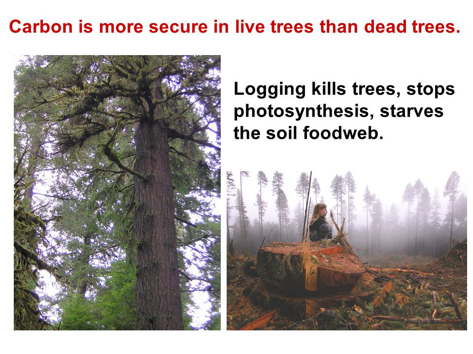 Carbon is more secure in live trees than dead trees.