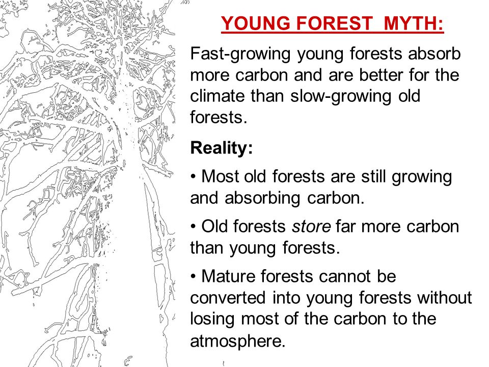 YOUNG FOREST MYTH: Fast-growing young forests absorb more carbon and are better for the climate than slow-growing old forests.
