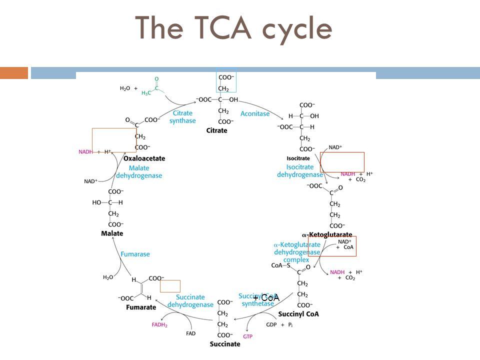 The TCA cycle + CoA