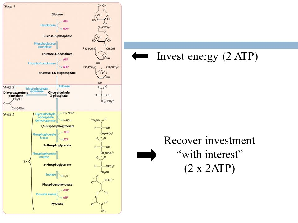 Invest energy (2 ATP) Recover investment with interest (2 x 2ATP)