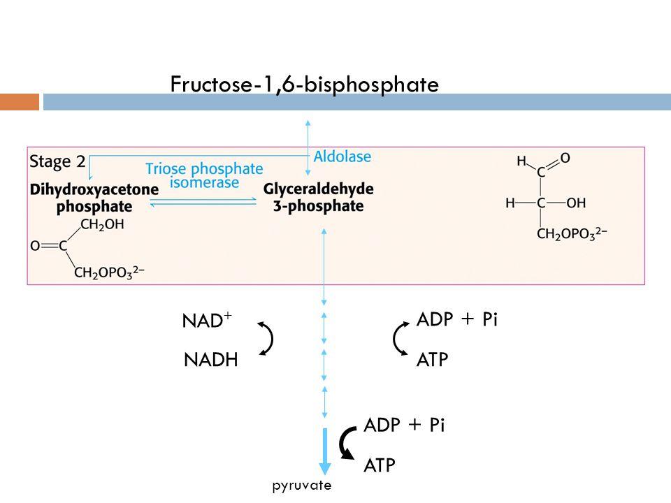 Fructose-1,6-bisphosphate pyruvate ADP + Pi ATP NAD + NADH ADP + Pi ATP