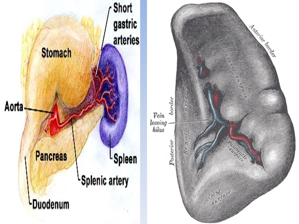 Functions of Spleen  The spleen plays multiple supporting roles in the body: 1.Filter: Phagocytosis of old and abnormal red blood cells.