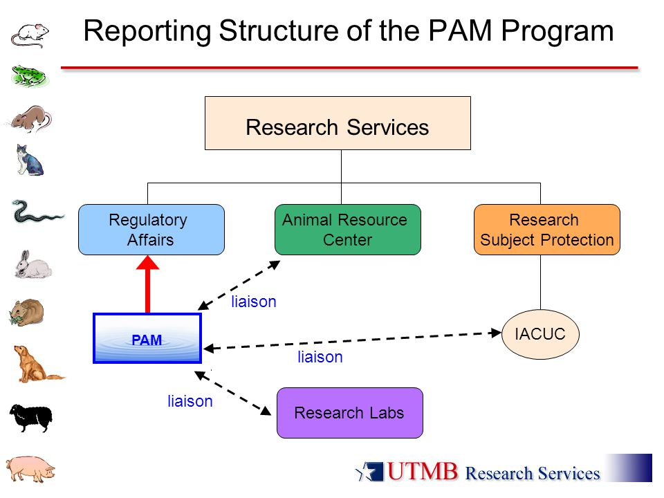 Reporting Structure of the PAM Program liaison Research Services IACUC Regulatory Affairs Animal Resource Center Research Subject Protection PAM Research Labs liaison