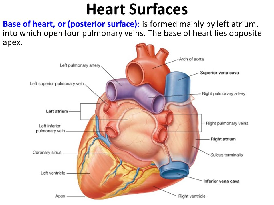 Heart Surfaces Base of heart, or (posterior surface): is formed mainly by left atrium, into which open four pulmonary veins.