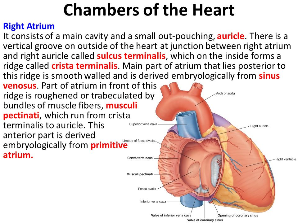 Chambers of the Heart Right Atrium It consists of a main cavity and a small out-pouching, auricle.