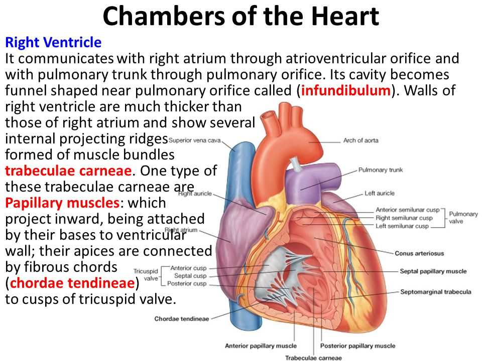 Chambers of the Heart Right Ventricle It communicates with right atrium through atrioventricular orifice and with pulmonary trunk through pulmonary orifice.