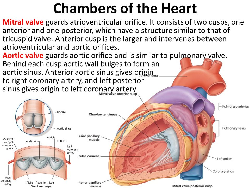 Chambers of the Heart Mitral valve guards atrioventricular orifice.