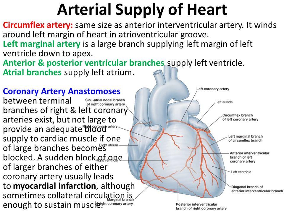 Arterial Supply of Heart Circumflex artery: same size as anterior interventricular artery. It winds around left margin of heart in atrioventricular gr