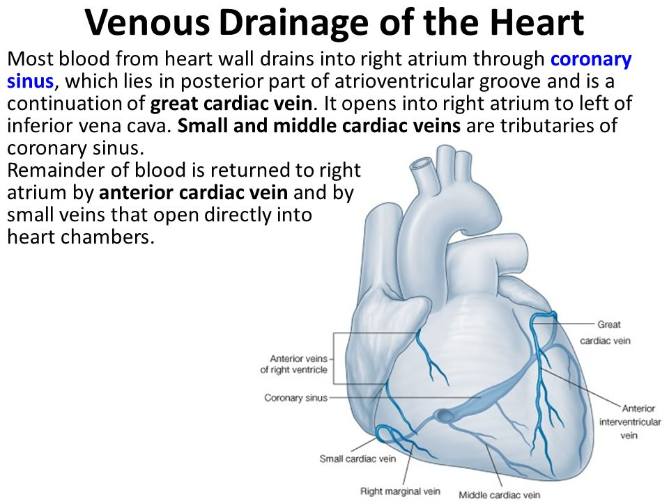 Venous Drainage of the Heart Most blood from heart wall drains into right atrium through coronary sinus, which lies in posterior part of atrioventricular groove and is a continuation of great cardiac vein.