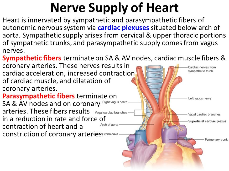 Nerve Supply of Heart Heart is innervated by sympathetic and parasympathetic fibers of autonomic nervous system via cardiac plexuses situated below arch of aorta.