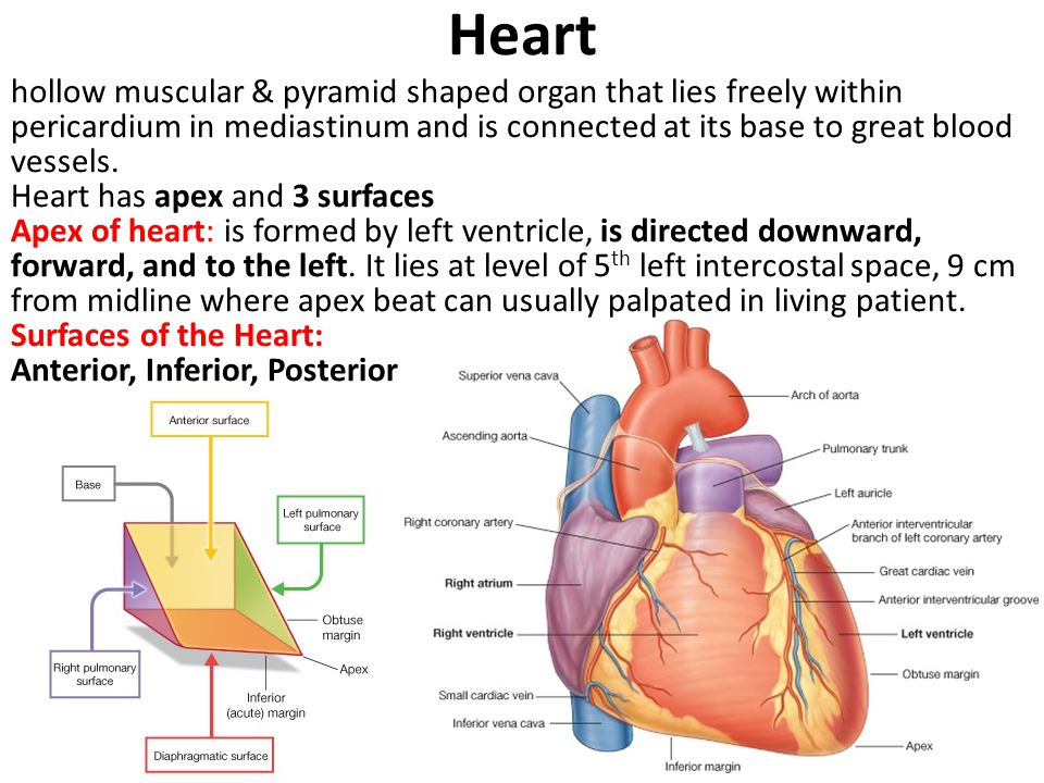 Heart hollow muscular & pyramid shaped organ that lies freely within pericardium in mediastinum and is connected at its base to great blood vessels.